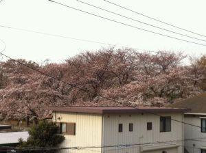 Wakabasakura2011