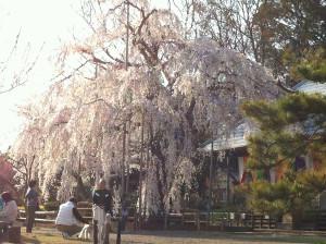 Sakura201404a