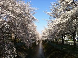 Sakura201404b