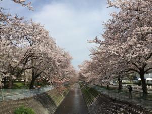 Sakura201604a