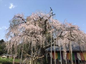 Sakura202003a_20200322222601